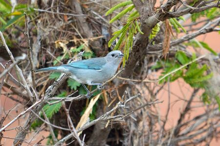 Blue and Grey bird (sayaca Thraupis) on a tree Imagens