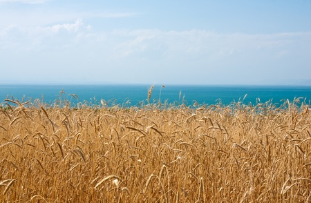 mellow: Mellow corn field near sea