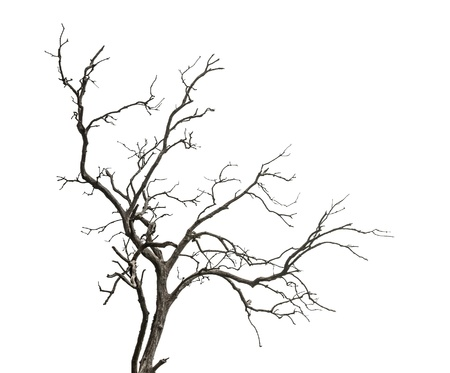 tree dead: Albero morto isolato su sfondo bianco