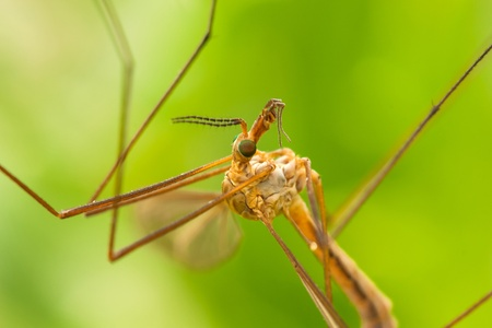 malaria: High detailed macro shot of wild mosquito with nice eyes