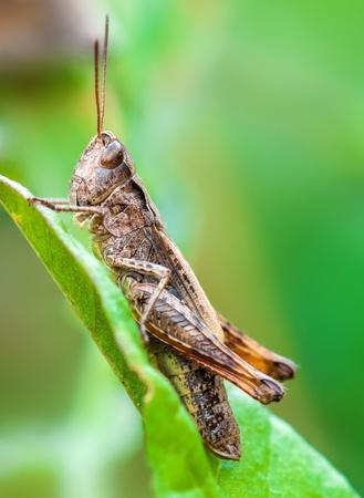 chorthippus: Macro shot of the chorthippus brunneus grasshopper sitting on the leaf