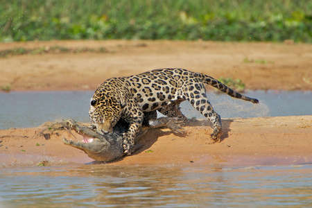 Jaguar hunting a crocodile Banco de Imagens