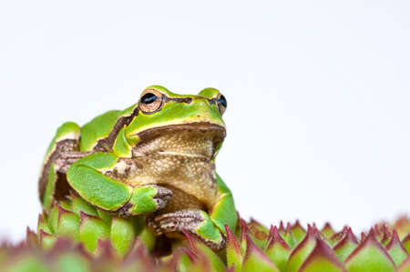 Pine barres green tree frog on a sempervivum royanum plant isolated on white, closeup