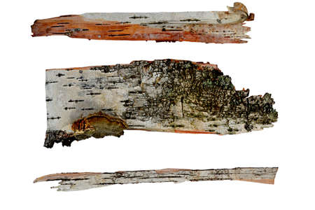 tree bark in the form of a scroll isolated on white background photo