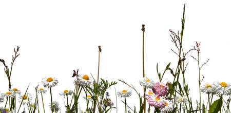Meadow grass and chamomile flowers isolated on white background photo