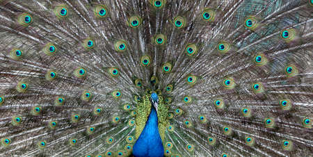 Peacock with a beautiful , promiscuous tail