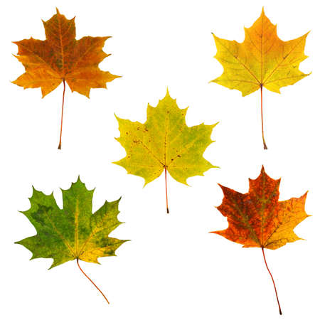 a set of colorful, autumn, maple leaves isolated on white