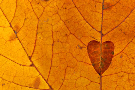 Heart cut out of a background of red autumn leaves