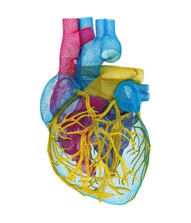 right ventricle: Human heart