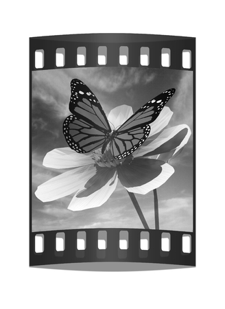 Beautiful Cosmos Flower and butterfly against the sky. The film strip photo
