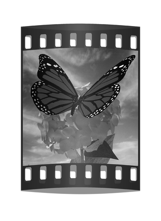 Beautiful Ajisai Flower and butterfly against the sky. The film strip photo