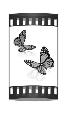 butterflys: Black and white beautiful butterflys. High quality rendering. The film strip
