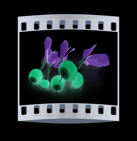 fascicle: Small garden radish on a black background. The film strip Stock Photo