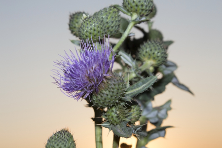 Prickly heads of burdock flowers on a sun ray backlight Stock Photo