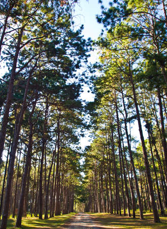 Pine trees forest in Suan Son Bo Kaew, Mae Hong Son in the North of Thailand photo