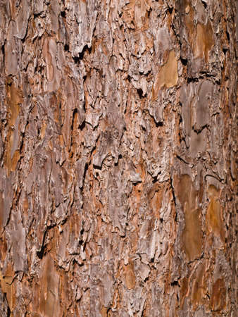 Pine tree bark Suan Son Bo Kaew, Mae Hong Son in the North of Thailand photo