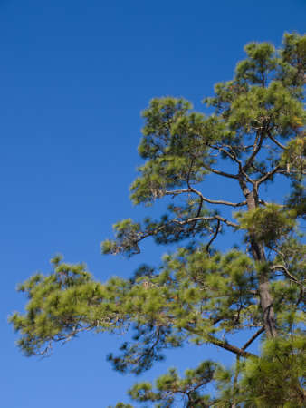 Pine tree and blue sky, Suan Son Bo Kaew, Mae Hong Son in the North of Thailand photo