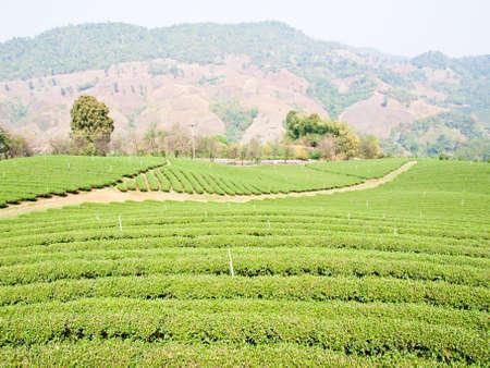 Tea plantation on Mae Salong hill, Chiang rai, Thailand photo