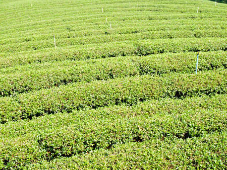 Tea plantation on Mae Salong hill, Chiang rai, Thailand photo