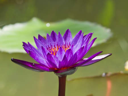 A violet water lilly in a pond photo