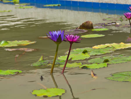 A pair of pink and violet water lilly in a pond Stock Photo