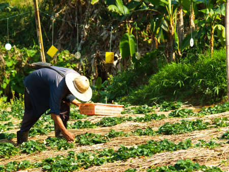 Farmer cultivated in strawberry farm, Chiang rai, Thailand photo