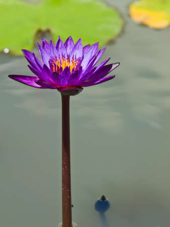 A violet water lilly in a pond