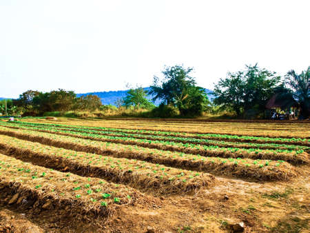 Agricultural industry  Growing vegetable on field in Nakorn Rtchasima, Thailand