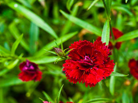 carmine: Telstar Carmine Rose in natura Archivio Fotografico