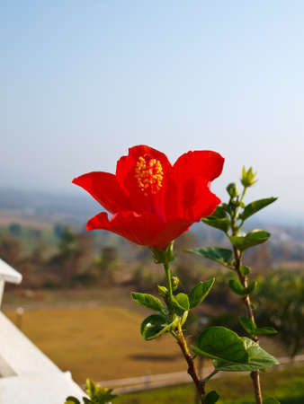 Red hibiscus in nature photo