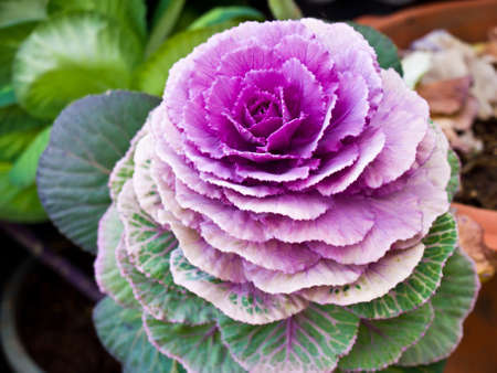 Violet flowering cabbage in nature photo