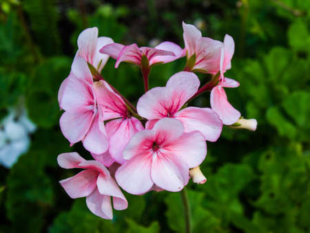 pink geranium flower in nature Stock Photo