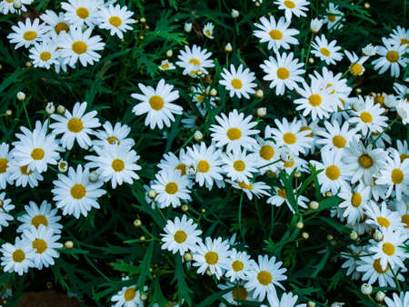 white cosmos flowers in nature photo