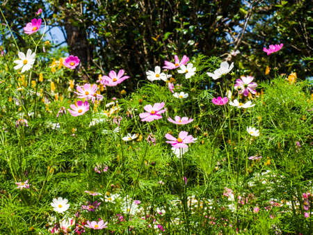 pink cosmos flowers in nature Stock Photo