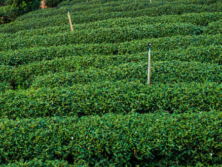 tea plantation in a row in Chiang rai, Thailand.