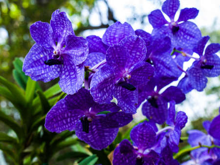 purple vanda orchids in nature from Thailand photo