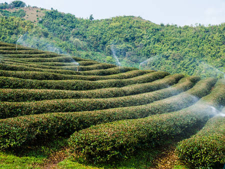 Tea plantation in Chiang Rai, Thailand