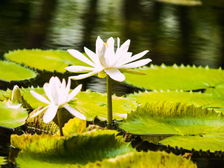 White lotus in nature Stock Photo