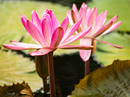 Pink lotus in nature photo