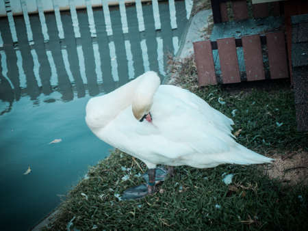 wildanimal: Swan cleaning its Plumage
