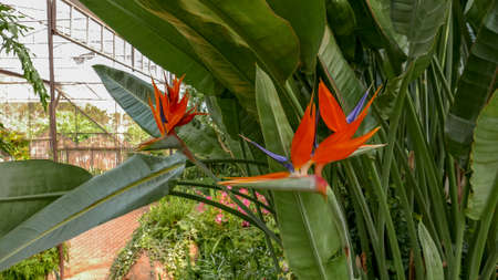 Fresh orange bird of paradise flower bunch in daytime in nature for passion, relaxation, travel, season, time, holiday, agriculture and beauty concept