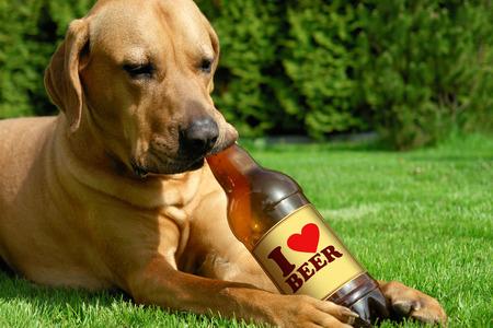 犬の飲むビール土佐柴犬かわいい子犬、草の上に横たわると、ビールを飲み