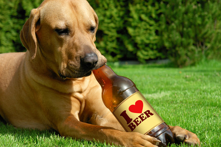 Dog drinking beer Tosa inu cute puppy lying on the grass and drinking beer