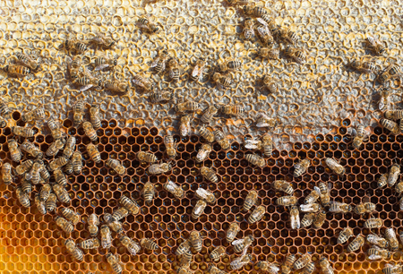 cluster house: Honey Bees Working. Bees inside a beehive