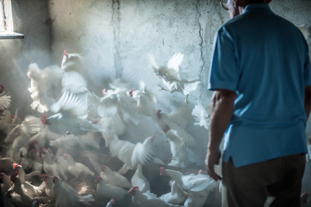 brings: Farmer brings feed into a chicken house on a farm in Montenegro Stock Photo
