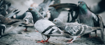 Flock of Pigeons on the street. Dove crowd bunch. Close up. View from animal floor perspective