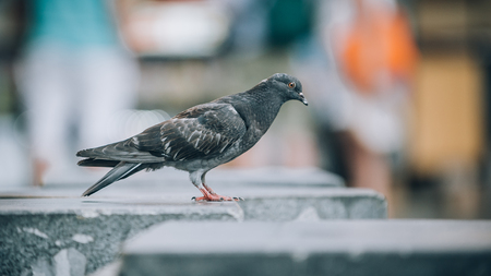 Pigeon on the street. Close up. View from animal floor perspective