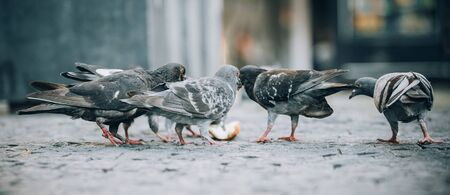 Pigeons eat on the street. Dove crowd bunch feed. Close up. View from animal floor perspective