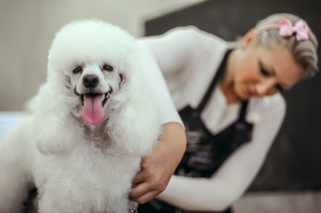 Grooming a little dog in a hair salon for dogs. Beautiful white poodle Foto de archivo