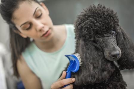 강아지를위한 미용실에 작은 개를 정리. 아름다운 검은 푸들 스톡 콘텐츠
